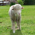 Una de las ovejas rescatadas