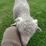Las ovejas te reconocen de un día para otro