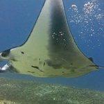 Reef Manta @ Manta Point