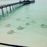 Stingrays waiting for dinner! (They feed them every night at the Laguna bar 6.30pm. Get there ea