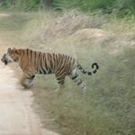 """Tigre : Safari """"Porte 2"""""""