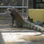 Don't be afraid of the Iguanas! Don't feed them and avoid wearing red polish on your toes.