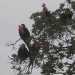 Frigate birds, not a common sight