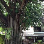 Lounge/breakfast area by banyan tree