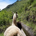 Leading the llamas to their pasture on the mountain