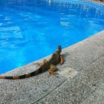 Iguanas are known to hop into the pool for a quick swim