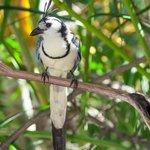 Calocita Bird