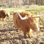 Ферма по разведению яков и буйволов