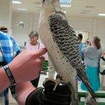 Resident Jeer falcon