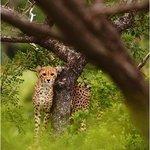 Cheetah at Thanda