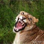 Lion at Thanda