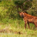 Hyena at Thanda
