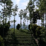 view from the tree house of the surrounding tea plantation