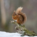 Red Squirrel having lunch