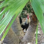 Rooster on Property