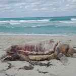 Tortuga Turtle washed up - locals buried it not long after this pict.