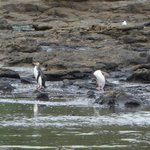 Yellow eyed penguins on the rock platforms