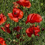 French poppies blooming along the walkway from the parking area to the city of Minerve