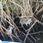 Ringtailed Swamp Monkies