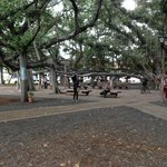 150 year old banyan tree