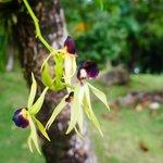 Orquidea chocolate, que tem esse cheiro