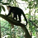 White faced monkey going for a climb
