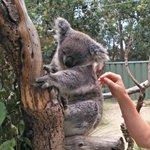 Koala! :)
