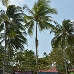 Coconut Tree Climbing