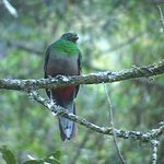Female Quetzals hold their own beauty