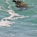 Turtle in wave