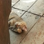 The cat wandering around the resort, and will ask for food