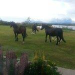 Los caballos pasean libremente frente al comedor (foto hecha dentro del comedor)