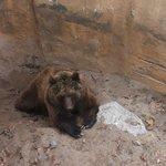 L'orso Destato
