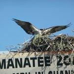 Nesting Osprey in the bay.