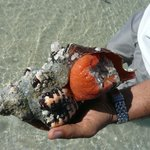 Rare Florida snail we rescued from the beach and returned to H20.