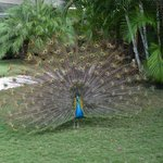 The very famous Peacock