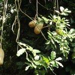 arbre cacahuete
