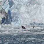 Seal on iceberg in front of Aialik Glacier