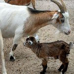 Baby Goat with Mama Goat