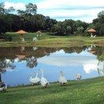lago com gansos