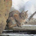 Bobcat in YNP