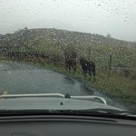 open range along the Lost Coast Highway - these are cows strolling along the road!