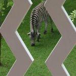Early morning Zebra grazing