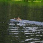 Black Caiman at lagoon