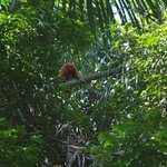 Red Huakari Monkey