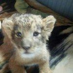 Lion Cub 2013
