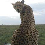 Cheetah on our bonnet 2