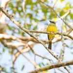 Grey-capped flycatcher watching