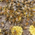 Bees on the wax on the hive mat