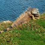 Big Iguana at the Golf Course!